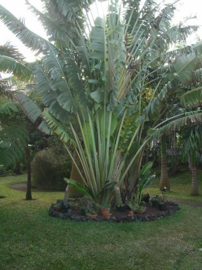 bas de l'arbre du voyageur, transformé en coin cactus