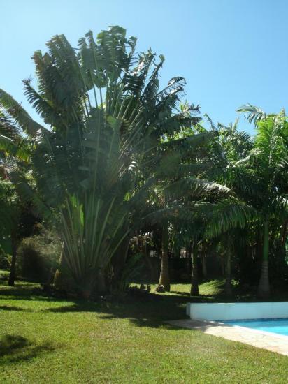 L 39 arbre du voyageur roi du jardin tr ne majestueusement for Le jardin voyageur