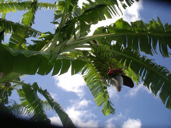 photos de la location : bananier