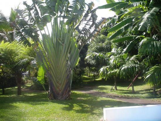 à gauche l'arbre du voyageur