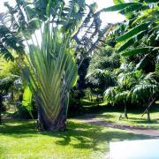 un des multiples arbres du voyageur du jardin