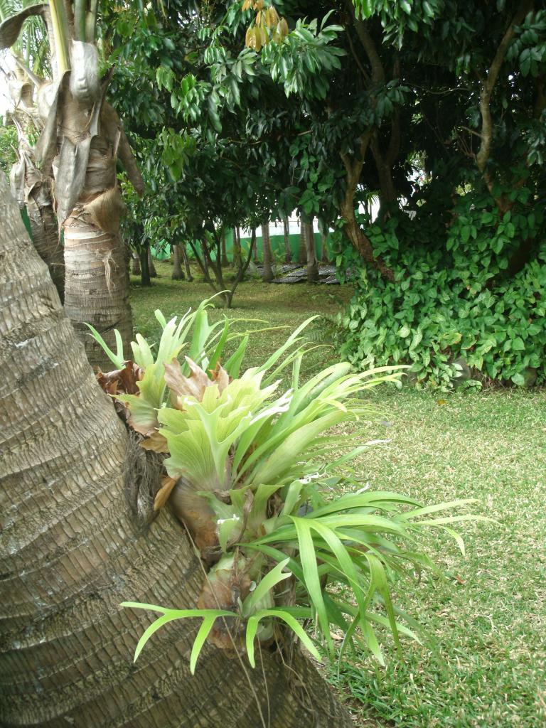 les cornes de cerf du jardin, plante ornementale