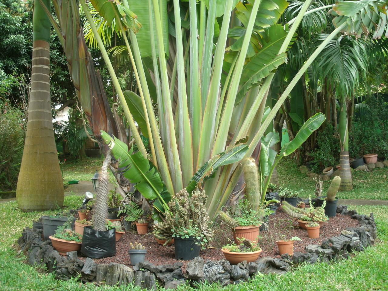 cactus au pied de l'arbre du voyageur